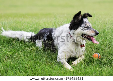 Border collie / Australian shepherd dog laying down in a grass field with a ball panting looking alert happy playful expectant
