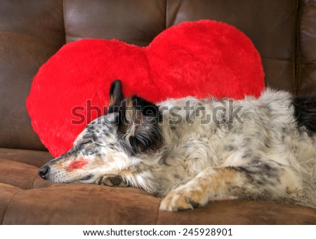 Border collie Australian shepherd dog lying on couch with red valentine's day heart love pillow and red lipstick kiss on cheek sleeping eyes closed relaxed tired patient waiting dressed up exhausted - stock photo