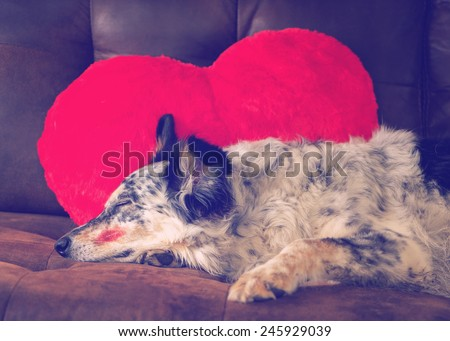 Border collie Australian shepherd dog lying on couch with red valentine's day heart love pillow and lipstick kiss on cheek sleeping eyes closed relaxed patient waiting dressed up exhausted filter  - stock photo
