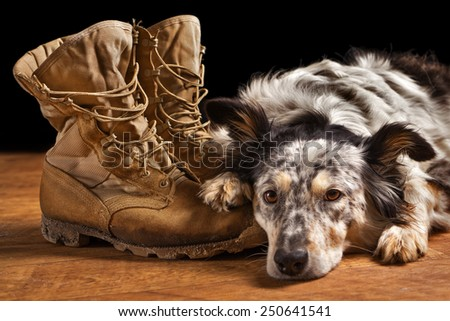 Border collie Australian shepherd dog lying on tan veteran military combat boots looking sad grief stricken in mourning depressed abandoned alone emotional bereaved worried feeling heartbreak - stock photo