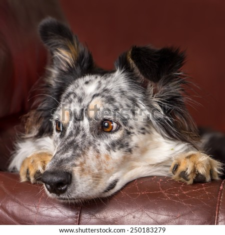 Border collie/ Australian shepherd dog on brown leather couch armchair looking happy comfortable lounging on furniture waiting watching curious cute uncertain with paws next to face - stock photo