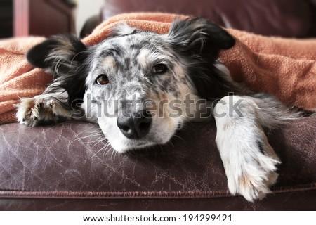 Border collie / australian shepherd dog on couch under blanket looking sad lonely bored hopeful sick - stock photo