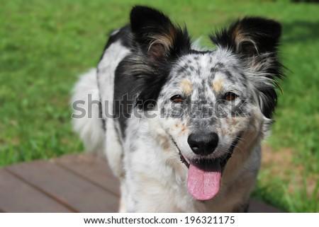 Border collie / Australian shepherd dog panting outside looking alert happy hot attentive impatient joyful - stock photo