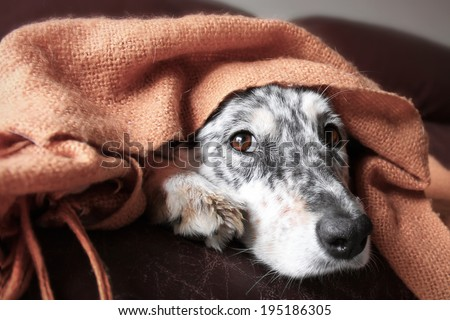 Border collie / Australian shepherd dog under blanket on couch looking hopeful lonely sick tired bored cute thoughtful - stock photo