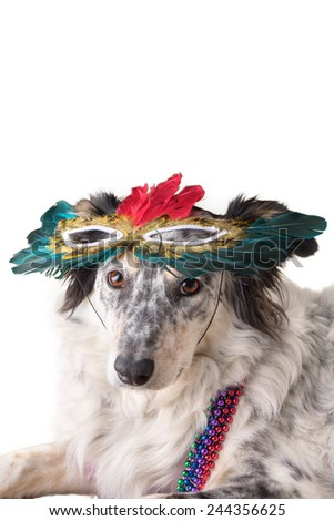 Border Collie Australian shepherd dog wearing feather mask masquerade costume and bead necklace in observance celebration of carnival mardi gras looking at camera and ready to party have fun celebrate - stock photo