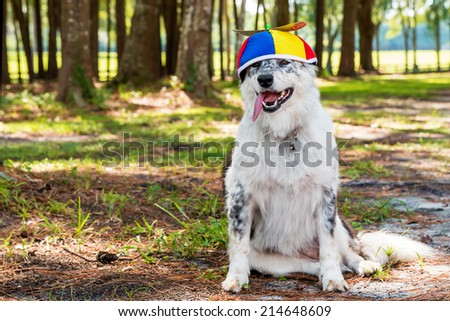 Border Collie / Australian shepherd mix dog happy siting down outside wearing colorful propeller beanie ready for a birthday costume Halloween party - stock photo