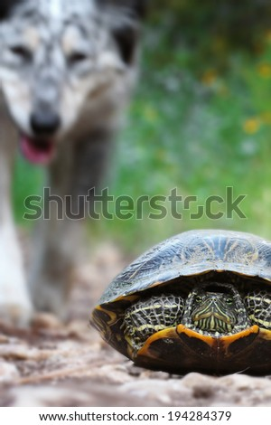 Border Collie / Australian shepherd mix dog interacting with, curious about, walking up to a wild animal turtle reptile - stock photo