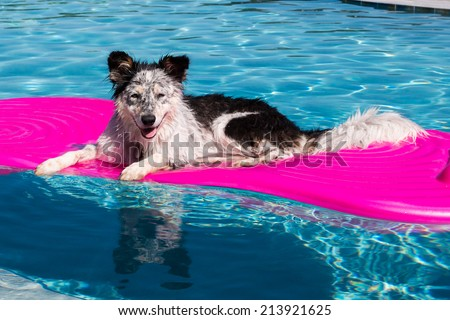 Border Collie / Australian Shepherd mix dog laying on a float in a pool looking relaxed happy goofy funny cute hot - stock photo