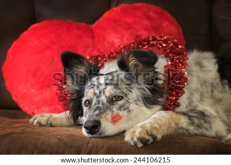 Border collie Australian shepherd mix dog lying down on brown couch with red valentine's day heart pillow and red lipstick kiss on cheek looking at camera with lonely unhappy expectant expression