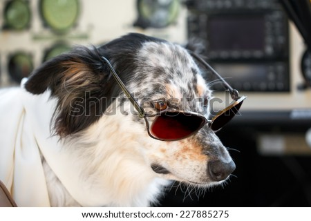Border collie Australian shepherd mix dog sitting down with sunglasses in airplane cockpit wearing white scarf looking smart cute cool chic ready for travel - stock photo