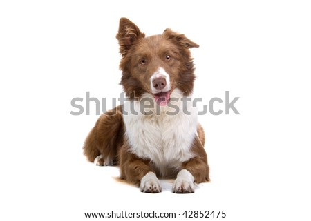 Border Collie Breed  in front of a white background