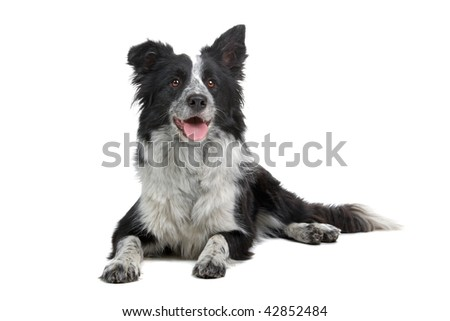 Border Collie Breed  in front of a white background - stock photo