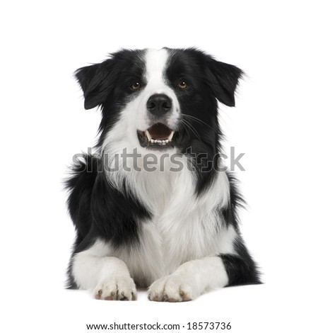 Border Collie Breed (15 months) in front of a white background