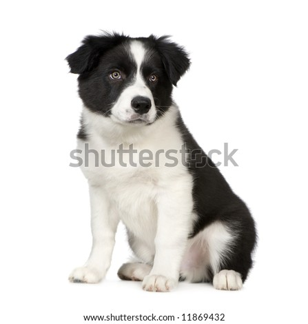 Border Collie Breed Puppy in front of a white background