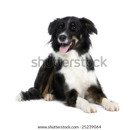 Border Collie Breed (1.5 years) in front of a white background