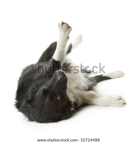 Border Collie Breed (5 years, 6 months) in front of a white background - stock photo