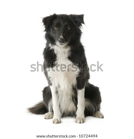 Border Collie Breed (5 years, 6 months) in front of a white background