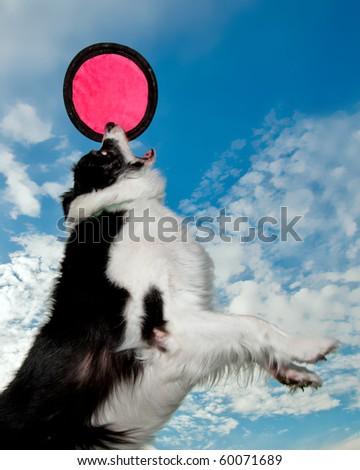 Border Collie catches disc. - stock photo
