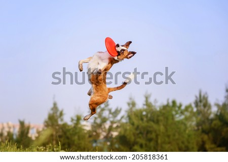 Border Collie catching a Frisbee Disc - stock photo