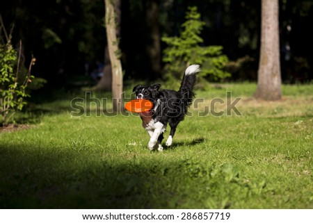 Border collie catching frisbee - stock photo