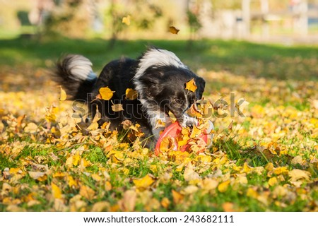 Border collie catching frisbee in the park in autumn - stock photo