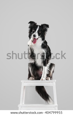 Border Collie conceived prank