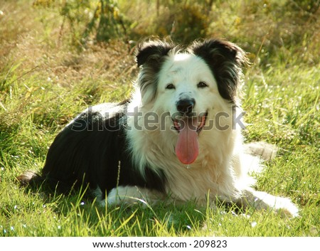 Border Collie Dog - stock photo