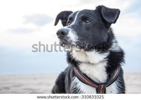 Border Collie Dog - stock photo