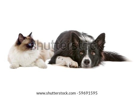 border collie dog and a long haired cat with blue eyes isolated on a white background - stock photo