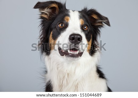 Border collie dog black brown and white isolated against grey background. Studio portrait. - stock photo