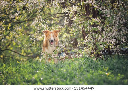 border collie dog blinks on a background of white flowers in spring - stock photo