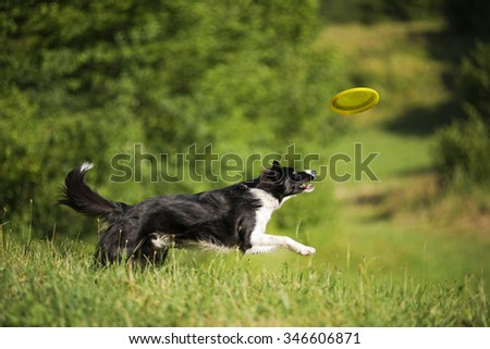 Border collie dog catching flying disc on the green meadow. - stock photo