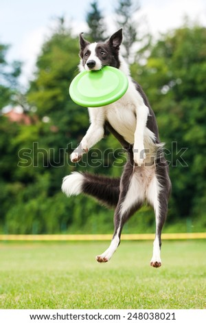 Border collie dog catching frisbee in jump in summer