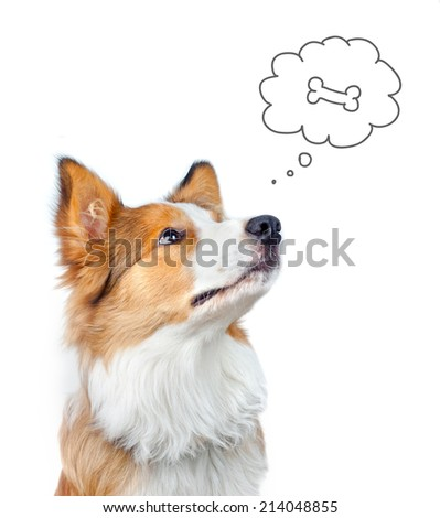 Border collie dog dreaming of food - stock photo