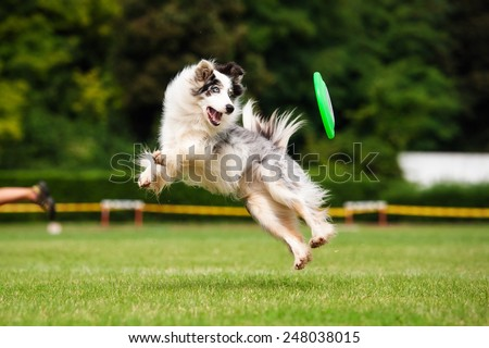 Border collie dog in jump in summer - stock photo