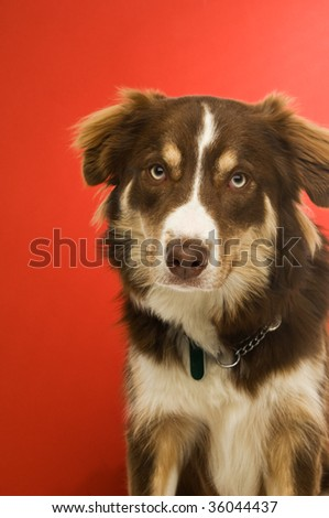 Border Collie dog isolated on a red background - stock photo