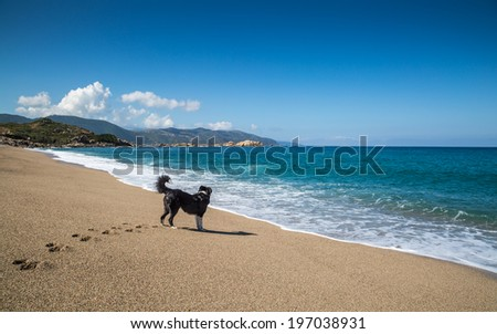 Border Collie dog looking out to sea on the Plage de Santana near Sagone on the west coast of Corsica - stock photo