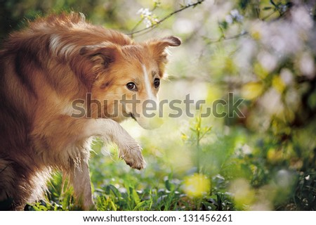border collie dog portrait in funny pose on a background of white flowers in spring - stock photo