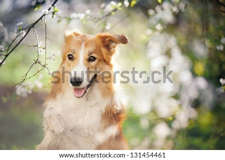border collie dog portrait on a background of white flowers in spring - stock photo