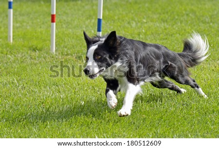 Border Collie Dog Running on Agility Course