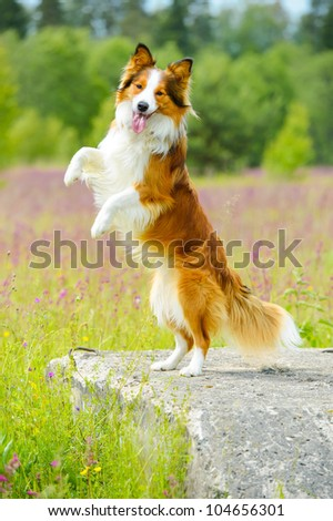 Border collie dog stand up on the flowers background - stock photo