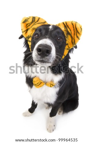Border Collie Dog wearing tiger ears isolated on white background - stock photo