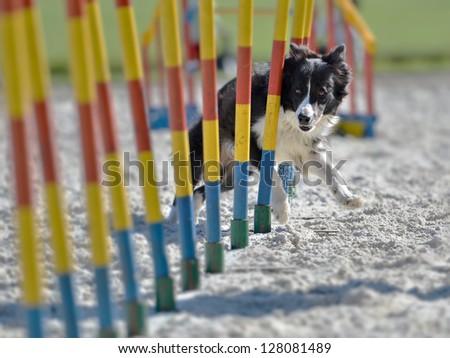 border collie exercising - stock photo