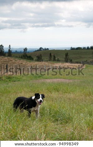 Border Collie farm dog in paddock - stock photo
