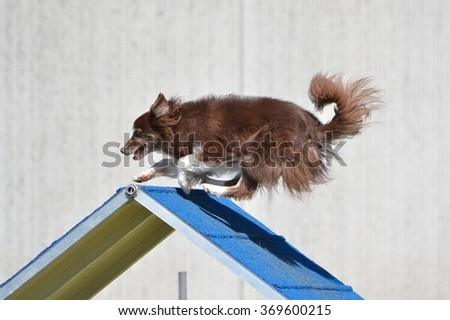 Border Collie Going Over an A-Frame at a Dog Agility Trial - stock photo