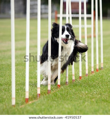 Border Collie going through the Poles - stock photo