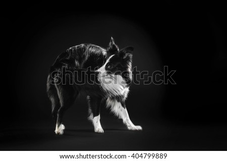 Border Collie grabs the tail