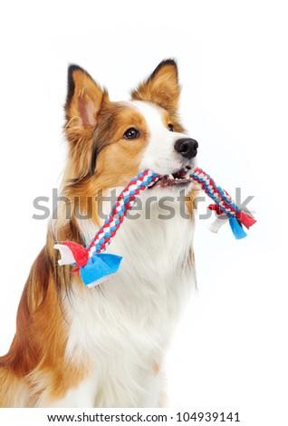 border collie holding toy - stock photo