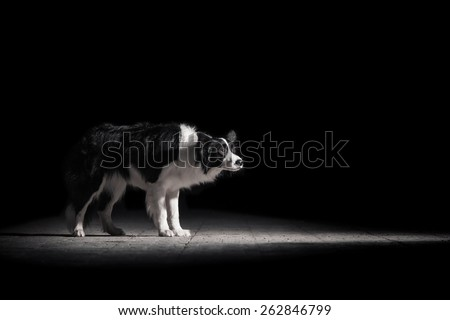 Border Collie illuminated light - stock photo
