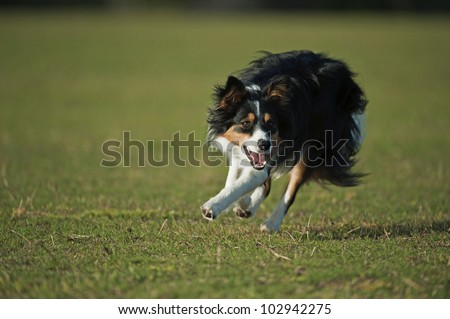 Border Collie in Action - stock photo